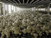 Свой бизнес сбор и переработка лесных грибов