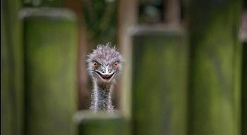 бизнес по разведению страусов