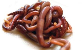разведение червей как бизнес
