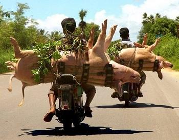 Транспортировка свиней на мопеде :)
