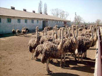 ферма со страусами