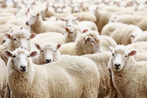 бизнес на овцах
