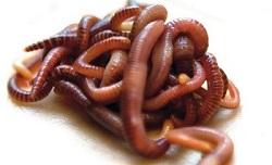 бизнес на разведении червей