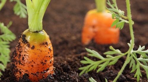 Бизнес на выращивании моркови 989
