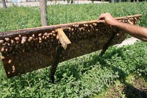 выращивание виноградных улиток